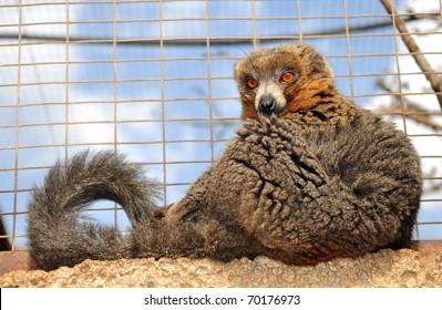 Mongoose Lemur in captivity