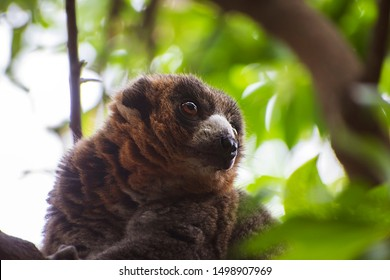The mongoose lemur (Eulemur mongoz) free in the forests of Madagascar. It is a small primate in the family Lemuridae. Portrait of a wild mongoose lemur up in a tree in Madagascar, 2019.