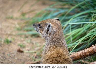 Mongoose looking away. Focus on the head - Shutterstock ID 2049141284