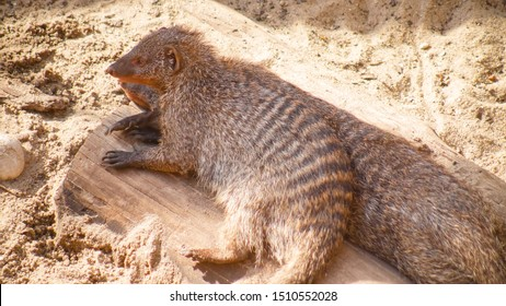 Mongoose portrait close up. Mongoose resting in the sand