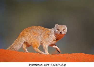 Mongoose in red sand, Kgalagadi, Botswana, Africa. Yellow Mongoose, Cynictis penicillata, sitting in sand with green vegetation. Wildlife from Africa. Cute mammal with long tail.