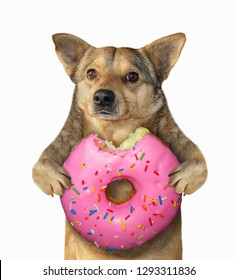 The mongrel dog is eating a big pink donut. Isolated. White background.