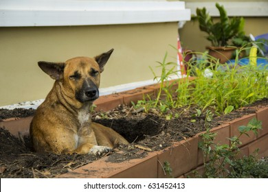 Mongrel dog thai brown color mouth black and blacken dig a hole to sleep in damaged vegetable plots soil litter fall apart to avoid hot weather by instinct.