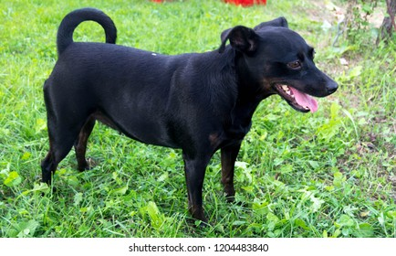A mongrel, mixed-breed dog or mutt is a dog that does not belong to one officially recognized breed and is not the result of intentional breeding.