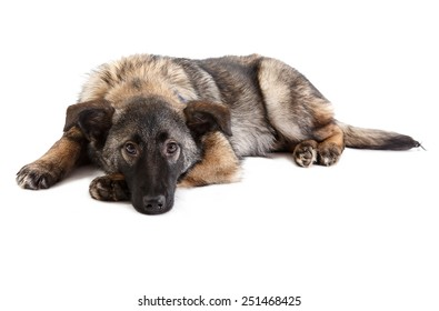 mongrel puppy  on a white background on white background