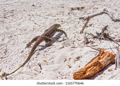 A Monitor goanna in its habitat of the white silica sand of Whitehaven Beach in the Whitsunday Islands of Australia