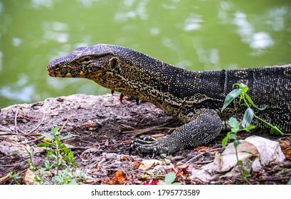 A monitor lizard caught at Lumpini Park, Bangkok.