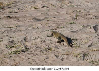 Monitor Lizard in Chobe Park