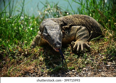monitor lizard climbing from the water