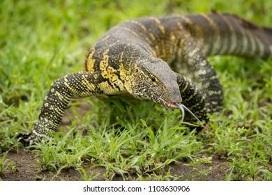 Monitor lizard crawls forward flicking tongue out