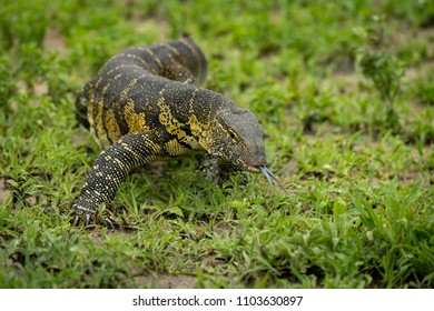 Monitor lizard crawls forward with tongue out