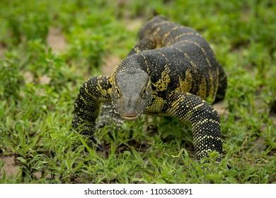 Monitor lizard crawls through grass towards camera