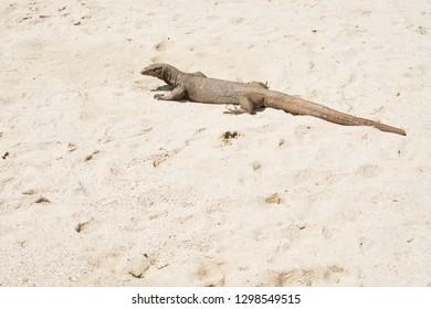 Monitor Lizard Enjoy Sun Light on Beach Sand