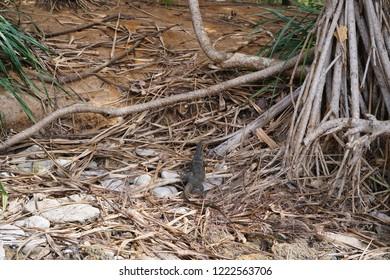 Monitor lizard, Goanna in forest at Thailand