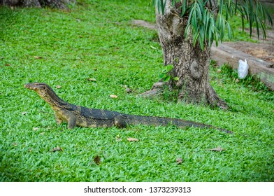 Monitor lizard in Lumpini Park in the city of Bangkok in Thailand