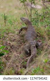 Monitor lizard in the Maasai Mara National Park, Kenya