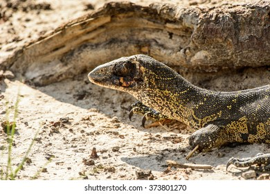 Monitor Lizard in the Moremi Game Reserve (Okavango River Delta), National Park, Botswana