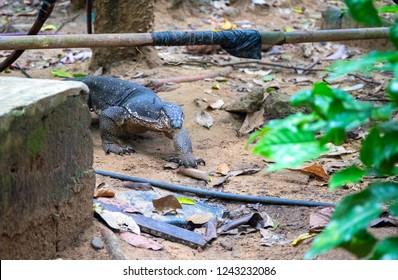 Monitor lizard on backyard of rustic village. South Asia fauna near human settlement. Dangerous wild animal. Endangered species of lizard. Monitor lizard wander for food. Tropical island environment