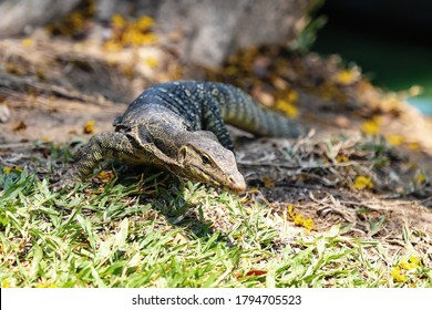 Monitor lizard on land in the city Park.