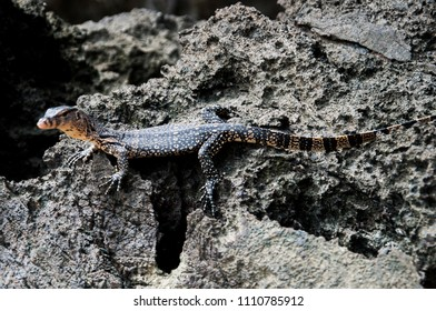 the monitor lizard on the limestone rock