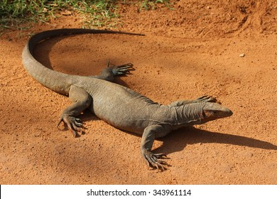 Monitor lizard on the sandy road.