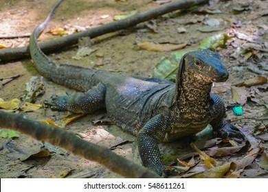 Monitor lizard, Philippines