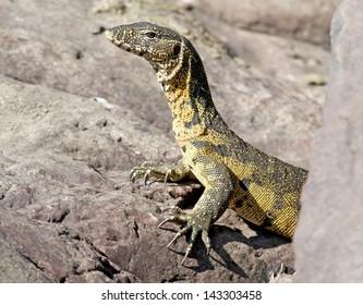 monitor lizard reptile predator in kruger national park south africa