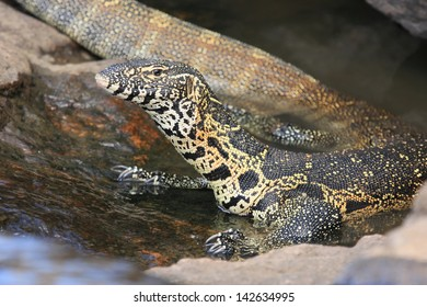 monitor lizard reptile predator of the rivers and lakes of Africa kruger national park south africa