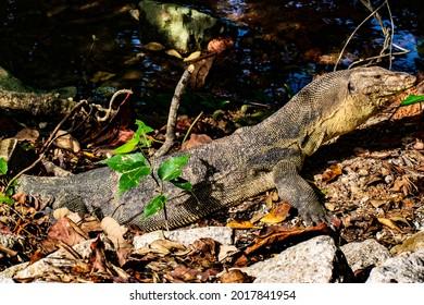 Monitor Lizard at Sungei Buloh Wetland Reserve
