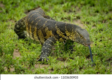 Monitor lizard with tongue out crawls forward