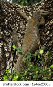 monitor lizard in a tree in Sri Lanka