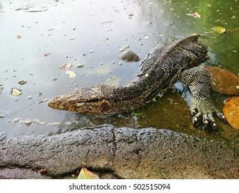 Monitor lizard (varanus salvator) close up in the water