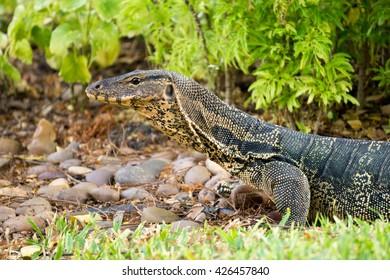 Monitor lizard (Varanus salvator) in Lumpini park