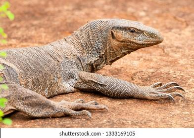 Monitor lizard (Varanus), Sri Lanka, Yala National Park.