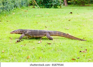 A monitor lizard walking