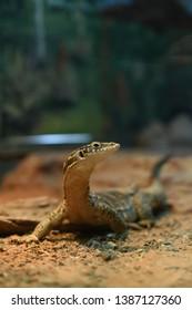 Monitor Lizards of Australia image
