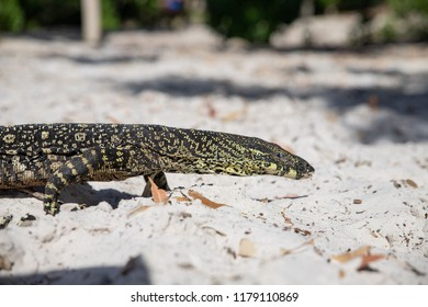 monitor lizzard, Queensland, Australia