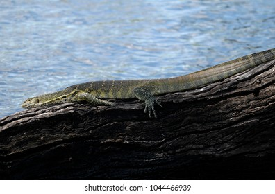 Monitor lizzard sunbathing on a dead tree on the edge of the river.