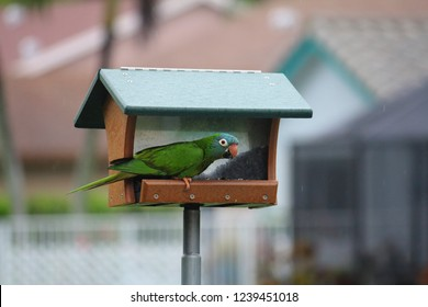 Monk parakeet aka Quaker parrot is a small bright green bird with a grey breast and greenish yellow abdomen. The dominate wild bird feeders eating seed and are not native to Miami South Florida