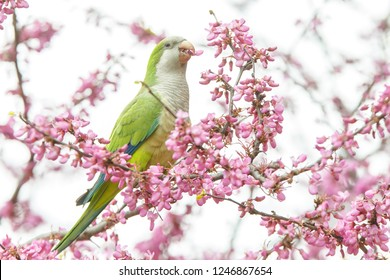 Monk parakeet, also known as Quaker parrot spotted in Barcelona, Spain.