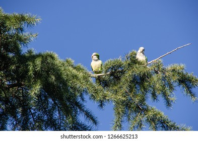 Monk parakeet also known as quaker parrot on a park tree. Cotorras argentinas. Myiopsitta monachus