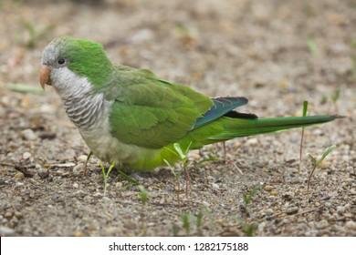 Monk parakeet (Myiopsitta monachus), also known as the quaker parrot.