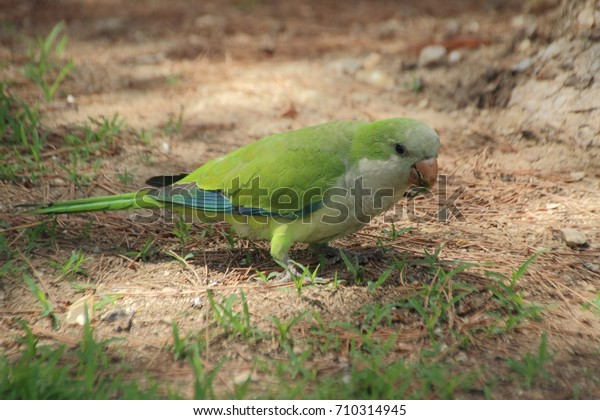 The monk parakeet sits on the ground