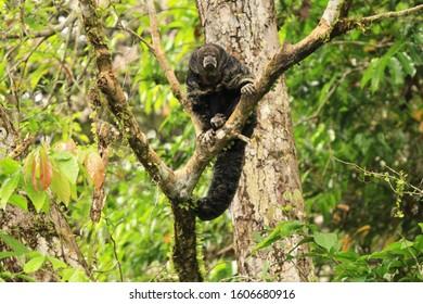 Monk saki monkey sitting in tree in Amazon Rainforest is Cuyabeno Wildlife Reserve, Ecuador.