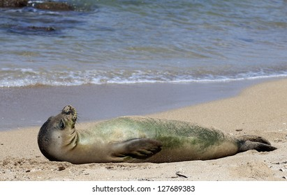 A monk seal rests and digests ocean bounty on a beach in Kauai, Hawaii.