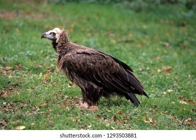 Monk Vulture in meadow