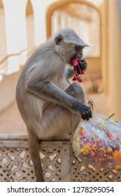 Monkey. Amber Fort. Jaipur. Rajasthan. India.