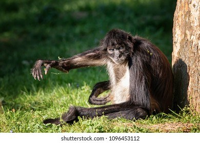Monkey Ateles Geoffroyi sit at tree and send greetings