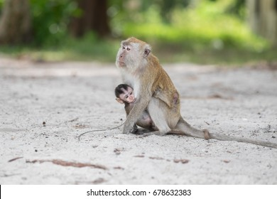 Monkey and baby, Monkey Beach, Penang National Park, Penang Island, Malaysia.