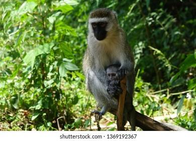 Monkey with baby , colombus monkey, Africans monkey, wildlife, baby monkey,